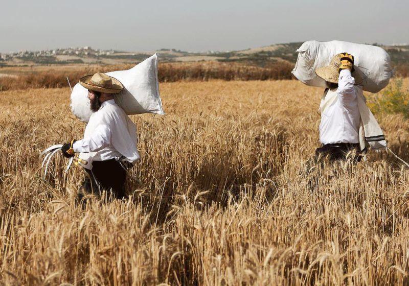 Харедим собирают пшеницу с помощью серпов. Они будут хранить ее целый год, чтобы затем сделать мацу на праздник Песах.